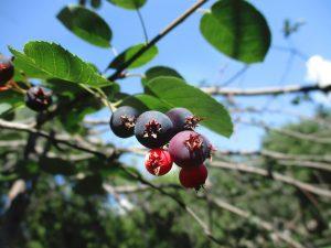 Saskatoon Berries - Safe Berries to Eat In The Wild