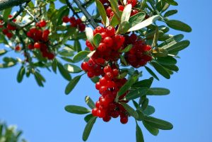 Buffaloberries - Safe Berries to Eat In The Wild