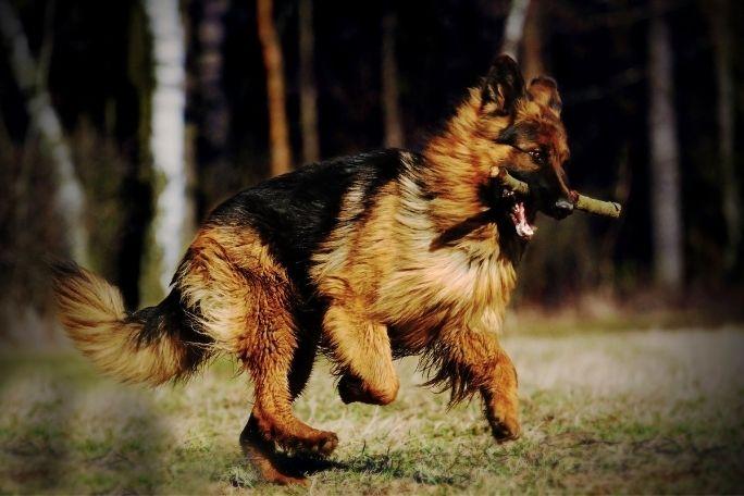 German Shepherd Hike
