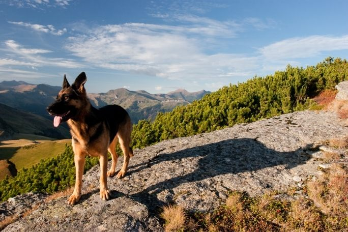 Why German Shepherds Are Great at Hiking?