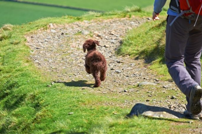 Are Poodles Good Hiking Dogs