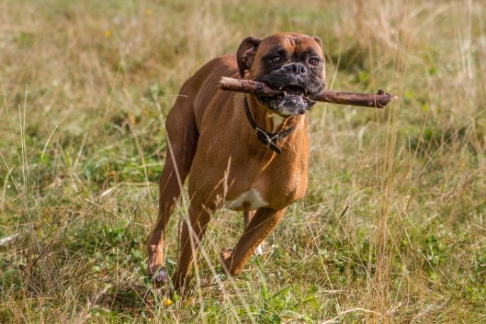 Are Boxers Good Hiking Dogs